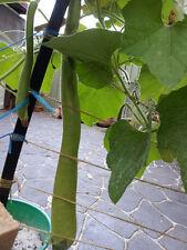 Chinese Bottle Gourd, Calabash, Lauki (Laau, Dudhi, Sorakaaya) - 5 Seeds