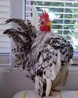 "4+1 NPIP & AI Clean 100% Pure Serama ""FERTILE"" Tiny Hatching Eggs"