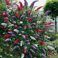 20 Stücke Schmetterling Bush Samen Seltene Blume Pflanze K6D2 Baum Ga Exoti G3Z7