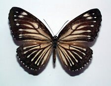 ELYMNIAS SANSONI - unmounted FEMALE