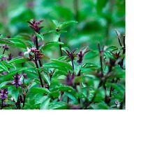 Cinnamon Basil Seeds  100+ Fresh Hand Packaged Seeds