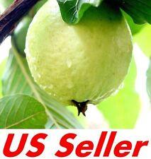 20 PCS TROPICAL GUAVA PLANT SEEDS E13, Psidium Guajava Fruit Tree Seed US Seller