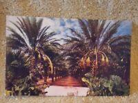 Vintage Postcard Arizona Date Garden