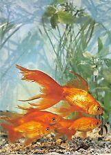 B22262 Fish Peche Romania Constanta Carassius Auratus
