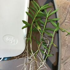 Ground Orchids Epidendrums (2 plants)