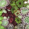 500 Seeds Hen & Chicks Mix Sempervivum Seeds Hybridum BULK SEEDS