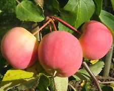 Apfelbaum  Winterapfel  /'Roter Boskoop/' 3Jährige auf M9 Niedrigstamm im Topf