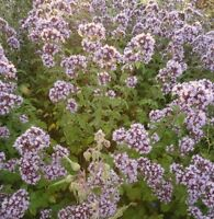 Wildflower Seeds - Wild Marjoram - 5000 Seeds