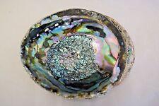 "Green Abalone Sea Shell One Side Polished Beach Craft 7"" - 8"" (1 pc) #JC-19"