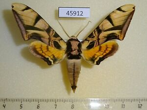 Sphingidae Batocnema coquerelii  Madagascar