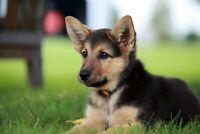 A1 | German Shepherd Puppy Poster Art Print 60 x 90cm 180gsm Alsatian Gift #8646