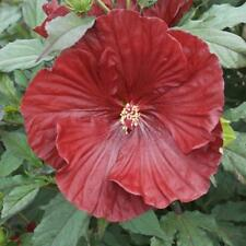 Hardy Hibiscus Seeds -CRANBERRY CRUSH-Winter Hardy Flowering Shrub- 10 Seeds