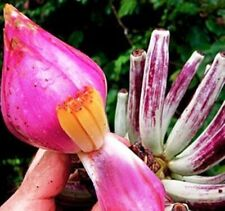 Musa hirta - Bornean Hairy Banana - Pack of Seeds