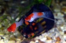 10 (ten) x Koi Kohaku White & Red Swordtails (Xiphophorus hellerii, Livebearer)