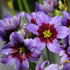 Leucocoryne Andes, Glory of the Sun,  Lavender & Rose, 5 bulbs, Bare root