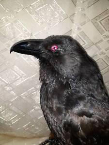 Real taxidermy Raven Red eyes Bird Scarecrow Museum exhibit Corvus cora Handmade