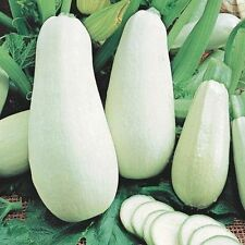 Squash seeds White fruit, Heirloom Vegetable Seed. Bush. 30 SEEDS