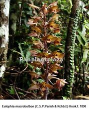 5 BULBS EULOPHIA MACROBULBON GROUND ORCHID RARE FRESH PLANT ROOTS RHIZOMES