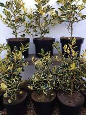 Holly plants Ilex aquifolium 'Golden van Tol 'Great for hedging. Evergreen