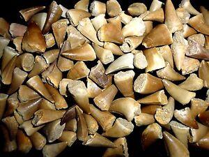 5 Mosasaur Dinosaur teeth fossil khouribga Morocco, Fossilized Mosasaurus Teeth.