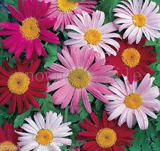 100gram 50000 Pyrethrum Seeds Tanacetum Coccineum Robinsons Painted Daisy Flower