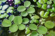 15/30/50+ Water Spangles,Salvinia minima,Live Aquarium/Aquatic/Floating Plant ++