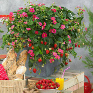 Strawberry 'Toscana' 3 x Large Plug Plants. Everbearer. Pink flowers