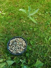 Zamia prasina, 1 Jungpflanze