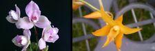 orchid / orchidee Lyc Shonan Harmony x Lyc Auburn) x Bif aureofulva(LB4)