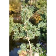 Pinus parviflora Japanische Mädchenkiefer Blue Wave 1 Stk 80-100 cm