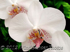 Orchid Photo, White Orchid, Moth Orchid, Fine Art Photo, 8 x 10 Matted Photo,