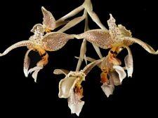 Fragant Stanhopea oculata 3 bulbs 2 new shoots 30 x 25 B.S.