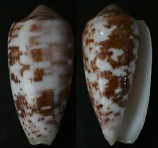 """CONUS FLOCCATUS, """"VERY LARGE"""", 67mm, F+++, SUPERB PATTERN AND COLOR"""