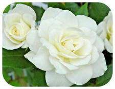 Climbing Rose 'Iceberg' Bare Root Plant Double White Roses