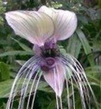 Blanco Palo de la flor murciélago - Tacca 10 Semillas  Flor del diablo