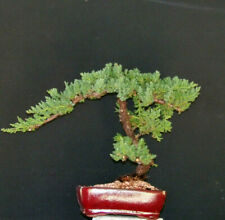 Finished Bonsai Outdoor Bonsais For Sale In Stock Ebay