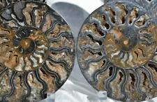 "9934 RARE 1in100 BLACK Ammonite PAIR Deep Crystals 110myo FOSSIL XXL 184mm 7.2"""
