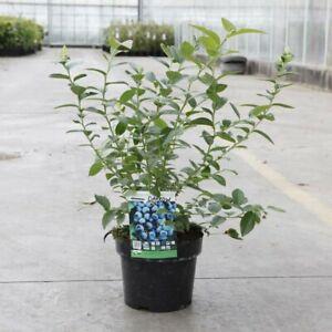 T&M Blueberry (Vaccinium) Darrow Garden Fruit Patio Hardy Shrub 9cm Potted Plant
