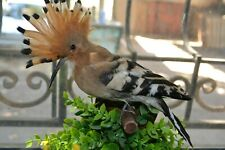 Taxidermy Hoopoe #06 Stuffed Wall Mount