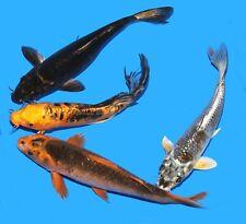 "Live Koi fish Wholesale lot of 4 large 9-10"" Black Karasu Matsuba Asagi Koibay"