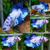 Blue Snow Halfmoon Plakat Male - IMPORT LIVE BETTA FISH FROM THAILAND