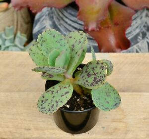 Kalanchoe Marmorata Succulent Plant Grown in 8 cm Pot