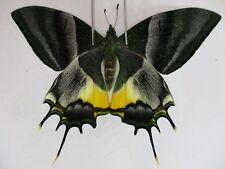 PA3224. Unmounted butterflies: Teinopalpus imperialis.Central Vietnam.Over 2000m