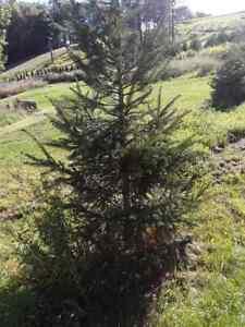 Trees BIG Norway Spruce 5'-10' Fresh dug Fast Growing Transplants Local Pickup