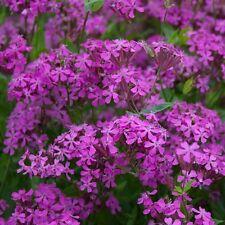 """Catchfly Not-So-Pretty """"Silene Armeria"""" 750 Seeds"""