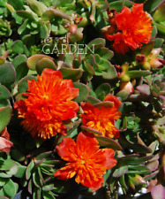 "Summer Stars Purslane Color Blast Double Flower Fairy Tales Portulaca - 2"" Pot"