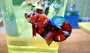 Live betta fish : Orange Galaxy muticolor(male) Hmpk betta fish (Premium grade)