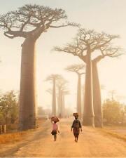 10 graines BAOBAB endemique de Madagascar Andasonia Grandidieri plants seeds