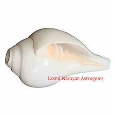Vamavarti Shankha / Left Handed Shankh For Blowing Purpose