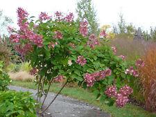 Pink Diamond Hydrangea Paniculata (1-2 feet tall in trade gallon containers)